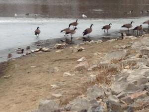 Geese at Ketring Lake