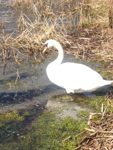 Swan at Lough Gur