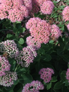 Centranthus or Jupiter's Beard